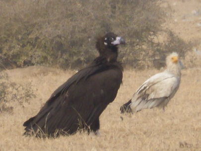 Cinereous (Black) Vulture - the largest vulture in the world